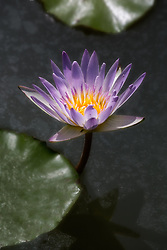 Water Lily, Purple #10