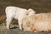Highland cow, domestic cattle, Bos tarus, calf resting and rubbing on mother, Isle of Skye, Skye & Lochalsh, Highland.<br /> animal; animals; mammal; mammals; cows;<br /> cattle; two; pair; couple; young; calf; grass; grassland;<br /> white; brown; summer; season; seasons;