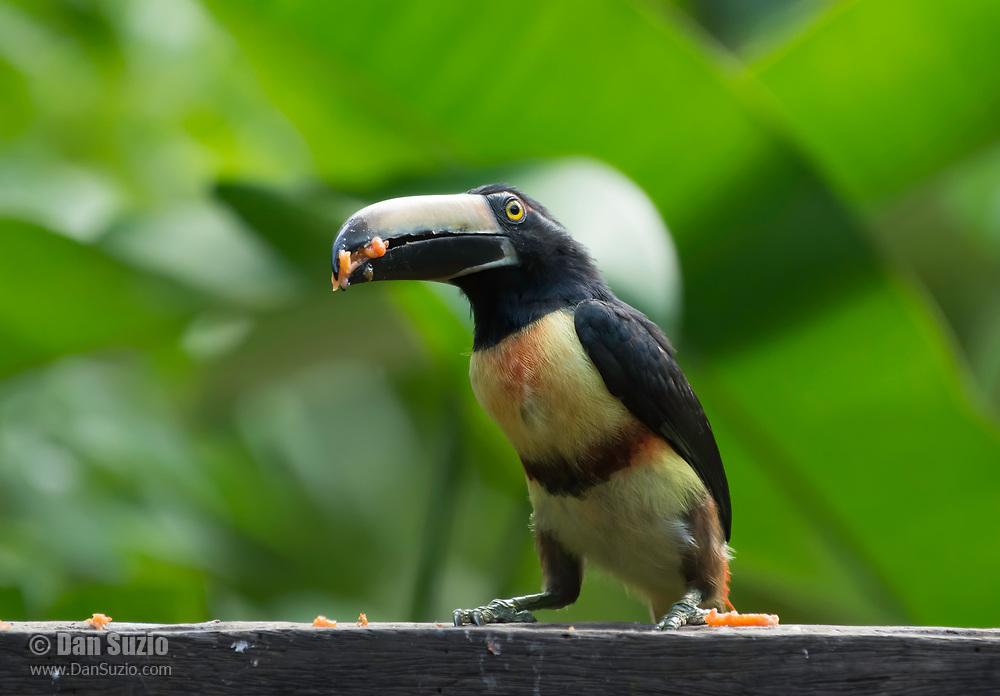 Collared Aracari, Pteroglossus torquatus, at a feeder in Sarapiquí, Costa Rica