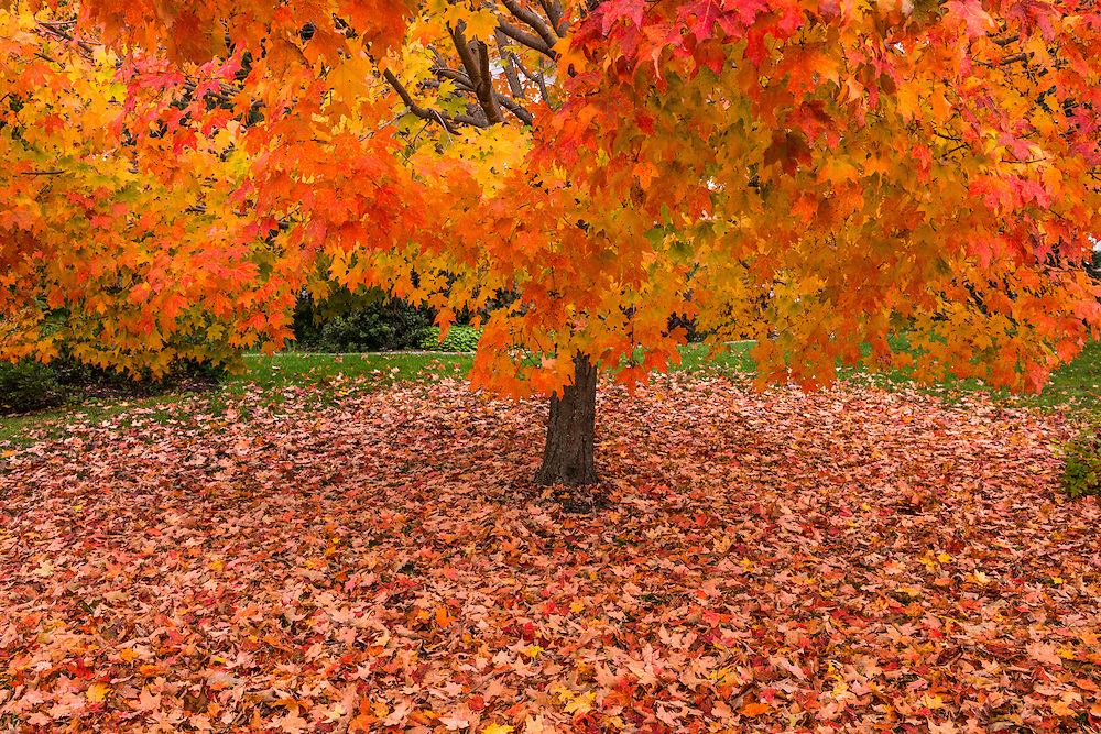 Sugar maple tree in fall color and blanket of leaves below on the ground, Townsend, VT