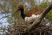 Madagascar crested wood ibis (Lophotibis cristata) on nest, Ankarafantika Special Reserve. Deciduous dry forest of western MADAGASCAR, endemic