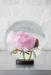Peony 'Sarah Bernhardt' in a vintage rose globe