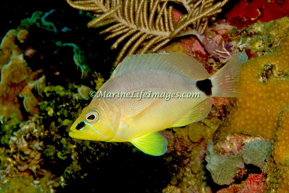 Butter Hamlet inhabit reefs in Tropical West Atlantic; picture taken Utila, Honduras.
