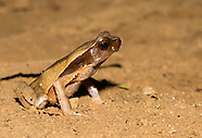 Litter Toad, Rhaebo haematiticus