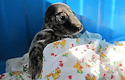 """Orphaned pup crawled for help to people<br /> <br /> head of the Center for Rehabilitation of pinnipeds Vyacheslav Alekseev, the man heard a dog barking , """" went into the yard and found this creature ."""" Dog is not harmed seal pup .<br /> <br /> <br /> It is noteworthy that from home to the coast of the Gulf of not less than 100 meters, but this week pup crawled away and even found a hole in the fence. """" The seals are characterized by a strong craving for self-salvation - said Alekseev . - Were in trouble , they will actively move , shout, move long distances - see them easier. But for the ringed seal pups we fear most . They are small, unobtrusive and can just quietly die with a sad kind . """"<br /> Difficult period for pinnipeds<br /> Pup from Lebiazhi became the fourth this year in Clause patient rehabilitation pinnipeds Repin.<br /> Two pups found over the weekend near Kronstadt. They brought a storm that passed over the Gulf of Finland. Age of one of the young - about one and a half weeks. Second seal pup 2-3 days.<br /> Third seal pup found on Wednesday residents of Pine Forest - he was lying on the beach of Seaside Park . Young mother, who was walking with the stroller on the beach , said the animal specialists Rehabilitation Center of marine mammals .<br /> <br /> The current breeding season for marine life Gulf fared - due to the abnormally warm winter and the almost total absence of ice. Center staff ask residents of St. Petersburg and Leningrad region to report any sightings of young gray seal and ringed seal . The specialists are urged to citizens not to try to save their own cubs . First of all , you need not detect its presence and not to frighten the animal , and then - hour phone call to rescue seals. If necessary, they will provide professional assistance in the rehabilitation center , and then released into the sea.<br /> ©Rehabilitation Center for Marine Mammal/Exclusivepix"""