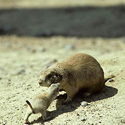 """Prairie Dog, (Cynomys ludovicians) Mother greeting young by """"kssing"""", a form of recognition."""