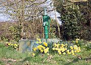 Daffodils around old village water pump, Earl Soham, Suffolk