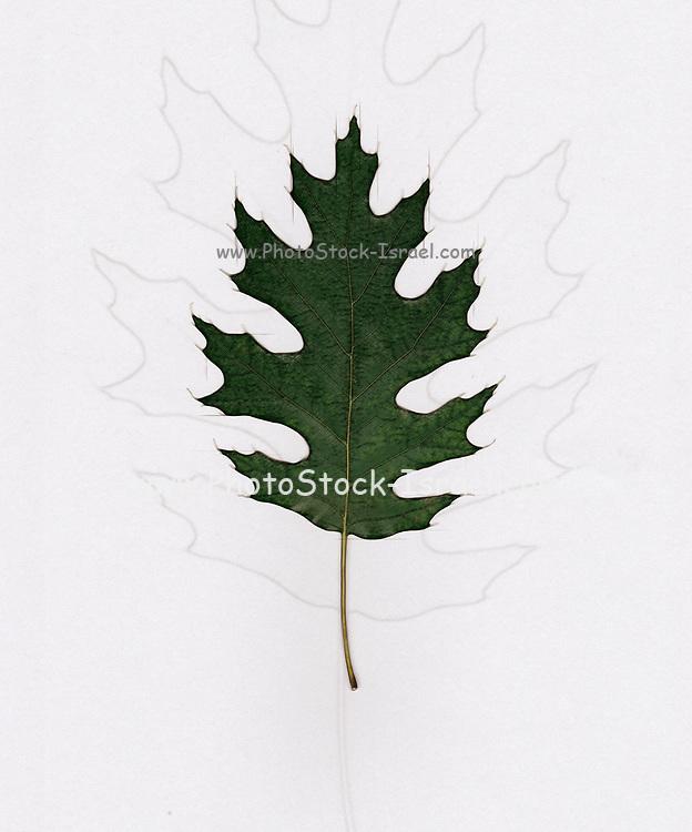 Digitally enhanced image of a single Oak leaf on white background