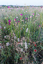 Beebalm, thistle and other assorted wildflowers, Blackland Prairie, High Point Park and Wildflower Preserve, Farmersville, Texas, USA.