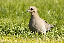 Mourning Dove (Zenaida macroura) or Carolina turtledove