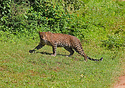 Leopard moving across open ground looking at the camera, Yala National Park, Sri Lanka