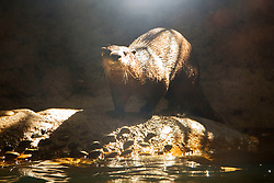 North American river otter, northern river otter, or Canadian river otter, Lontra canadensis, captive