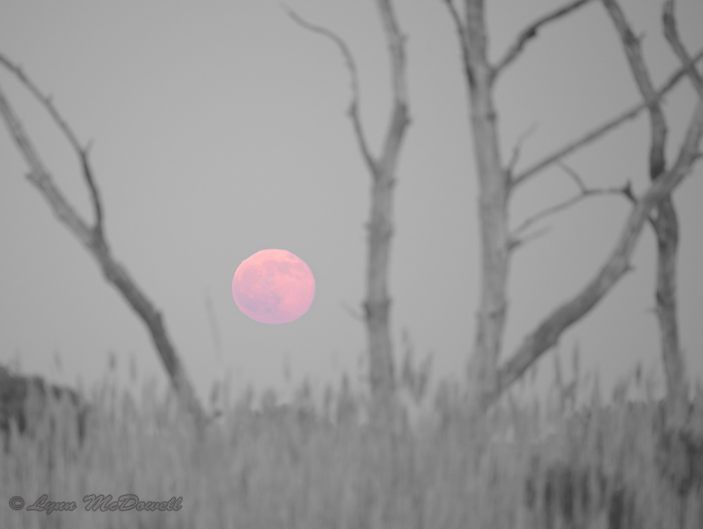"""Rising of the beautiful full """"Strawberry Moon"""" on summer solstice 2016.  Bombay Hook NWR"""