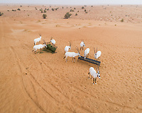 Aerial view of group of goats eating on desert landscape, Abu Dhabi, U.A.E