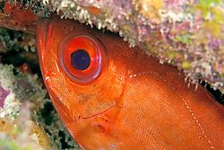 bigeye, Priacanthus arenatus, City of Washington wreck, Key Largo, Florida Keys National Marine Sanctuary, Atlantic Ocean