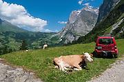 Ein Kuh liegt im Gras, in Hintergrund Grosse Scheidegg und Wetterhorn