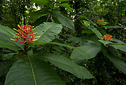 Red Orange Flower in rainforest, Palicourea Sp, jungle, Hacienda Baru, Costa Rica