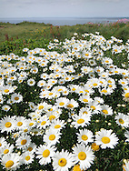 OXEYE DAISY Leucanthemum vulgare (Asteraceae) Height to 60cm. Downy or hairless perennial of dry, grassy meadows and verges, often on disturbed ground. FLOWERS are borne in solitary heads, 30-50mm across, with yellow disc florets and white ray florets (May-Sep). No scales between disc florets. FRUITS are achenes. LEAVES are dark green and toothed; lower leaves are spoon-shaped, stalked and form a rosette, stem leaves are pinnately lobed. STATUS-Widespread and common throughout.