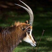 A Sable Antelope at Orana Wildlife Park, Christchurch. Set on 80 hectares, Orana Wildlife Park is New Zealand's only open range zoo. .Over 400 animals from 70 different species are displayed. Mcleans Island Road, Christchurch, New Zealand. 9th June 2011. Photo Tim Clayton..