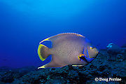 natural hybrid between blue angelfish, Holacanthus bermudensis, and queen angelfish, Holacanthus ciliaris, Flower Garden Banks National Marine Sanctuary, off the coast of Texas, USA ( Gulf of Mexico )
