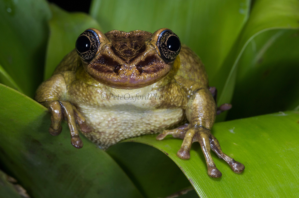 Jordan's casque-headed tree frog (Trachycephalus jordani)<br /> ECUADOR, South America<br /> RANGE: Pacific coasts of Ecuador, Colombia, Peru <br /> 0 - 1000m