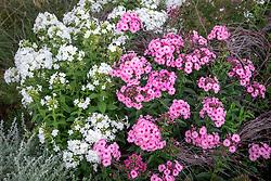 Phlox paniculata 'Herbstwalzer' and Phlox paniculata 'David' AGM