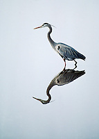 Great blue heron, Ardea herodias, Blackwater National Wildlife Refuge, Cambridge, Maryland