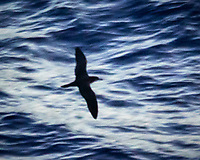 Tropical Shearwater from the deck of the MV World Odyssey while approaching Mauritius. Image taken with a Nikon N1V3 camera and 70-300 mm VR lens
