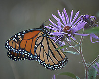 Monarch Butterfly Feeding on a Purple Wildflower. Image taken with a Nikon D2xs camera and 80-400 mm telephoto zoom lens (ISO 400, 400 mm, f/5.6, 1/350 sec).