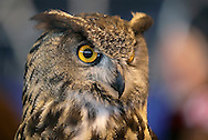 """Suffern, New York - A European eagle owl (Bubo bubo) at the """"Talons! - A Birds of Prey Experience"""" exhibit at the Northeast Astronomy Forum and Telescope Show at Rockland Community College on April 17, 2011. The eagle owl is one of the largest types of owls."""