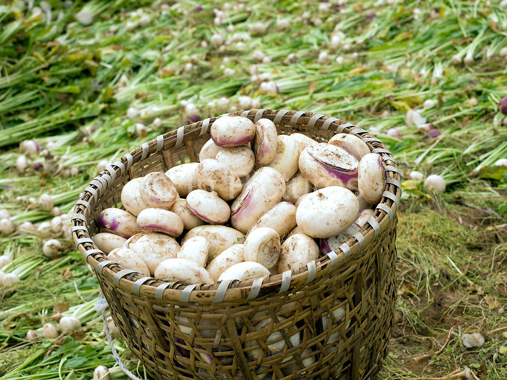 A basket of freshly harvested turnips in the fields, Dhazheyjhab village in the remote Phobjikha valley, Bhutan. Turnips are stored over the winter and used by farmers as winter feed for their cattle.