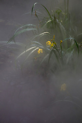 yellow iris in fog