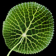 A false color x-ray of the leaf of a Giant Amazon water lilies (Victoria amazonica)