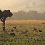 Blue Wildebeest, (Connochaetes taurinus) Herd grazing on plains in the Masai Mara Game Reserve. Kenya. Africa.