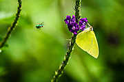 The mimosa yellow butterfly (Pyrisitia nise syn Eurema nise), is a butterfly in the family Pieridae. Photographed in Costa Rica