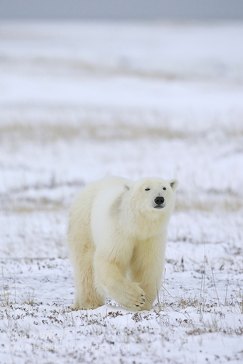 A polar bear stands his ground in the high Arctic region of Canada.  Polar bears are apex predators and have no natural predator