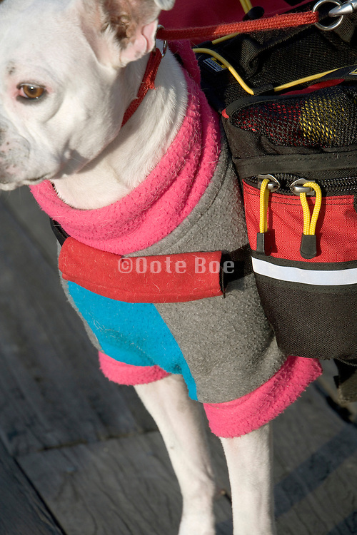 A Boston terrier boxer dog dressed up and also with a backpack