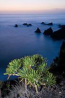Verode (Kleinia neriifolia) in a coastal landscapes in Punta Larga, in south La Palma, Canary Islands, Spain.