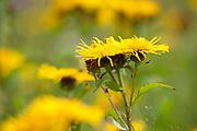 Fleabane Flowers, Pulicaria dysenterica, Brasov-Buzau, Romania