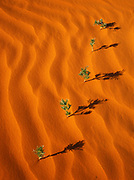 Five lupines growing from a single root in a straight line on top of a sand dune, Monument Valley Tribal Park, Arizona.