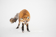 01871-02914 Red Fox (Vulpes vulpes) at Cape Churchill, Wapusk National Park, Churchill, MB