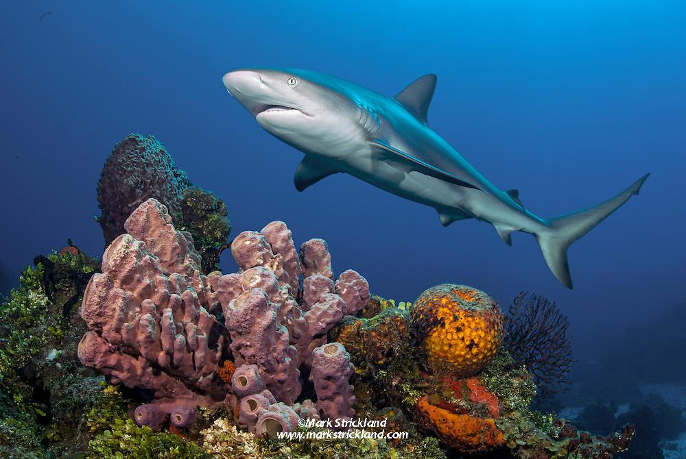 A Caribbean Reef Shark, Carcharhinus perezi, cruises above colorful sponges at the edge of the Gulf Stream. Little Bahama Bank Bahamas, Atlantic Ocean
