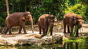 Asian elephants at the Singapore Zoo, Singapore, Republic of Singapore