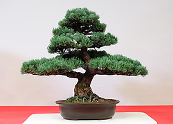 © Licensed to London News Pictures.14/07/15<br /> Harrogate, UK. <br /> <br /> A Bonsai tree is displayed as part of an exhibition on the opening day of the Great Yorkshire Show.  <br /> <br /> England's premier agricultural show opened it's gates today for the start of three days of showcasing the best in British farming and the countryside.<br /> <br /> The event, which attracts over 130,000 visitors each year displays the cream of the country's livestock and offers numerous displays and events giving the chance for visitors to see many different countryside activities.<br /> <br /> Photo credit : Ian Forsyth/LNP