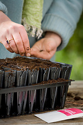 Sowing sweet peas into root trainers