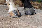 New shoes attached to the horse's hooves.