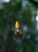 Female Golden Orb Weaving Spider, Nephila claripes, in center of web, Florida.