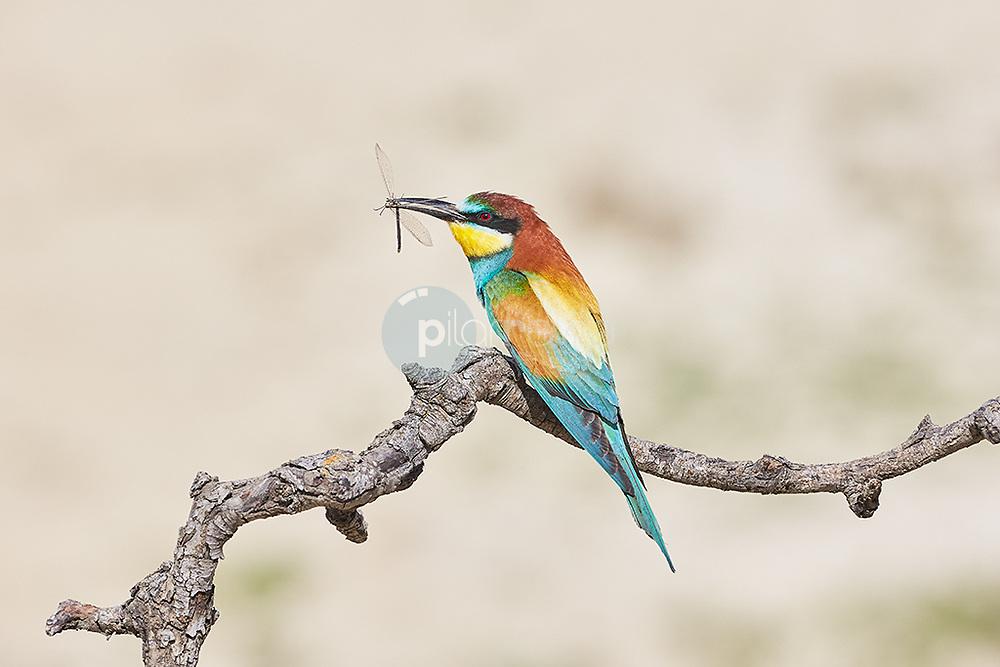 Abejaruco. Merops apiaster