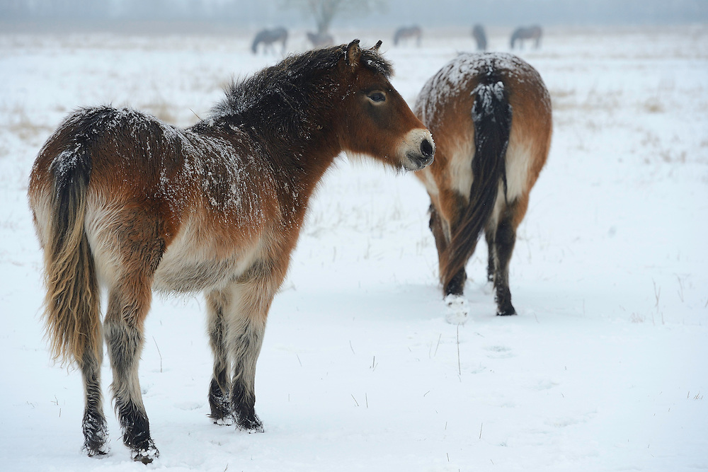 Exmoor ponies, Equus caballus, Tauros/Aurochs breeding site run by The Taurus Foundation, Keent Nature Reserve, The Netherlands