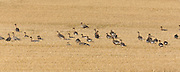 A mixed flock of greylag and pink-footed geese, feeding on stubble near to the Black Isle in Norhteast Scotland.